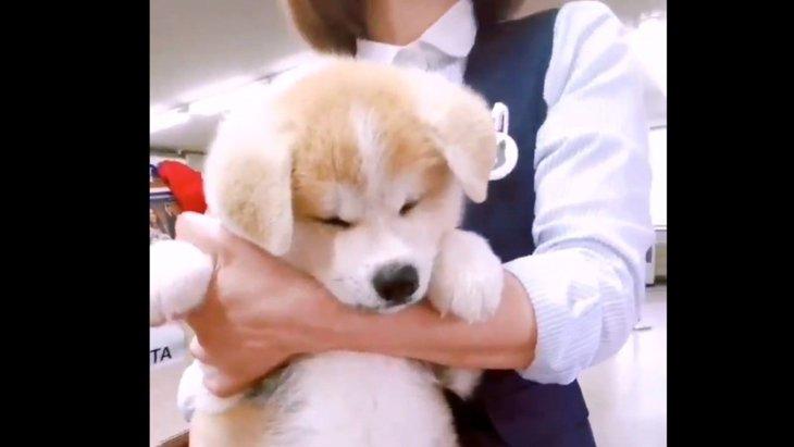 世界一かわいい子犬の「ぽんぽん」が発見されました!破壊力がバズり中★