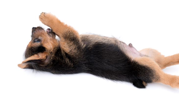 犬がお腹を見せてくれるのは嬉しいこと♪しかし中には仰向けが危険な犬種も…!