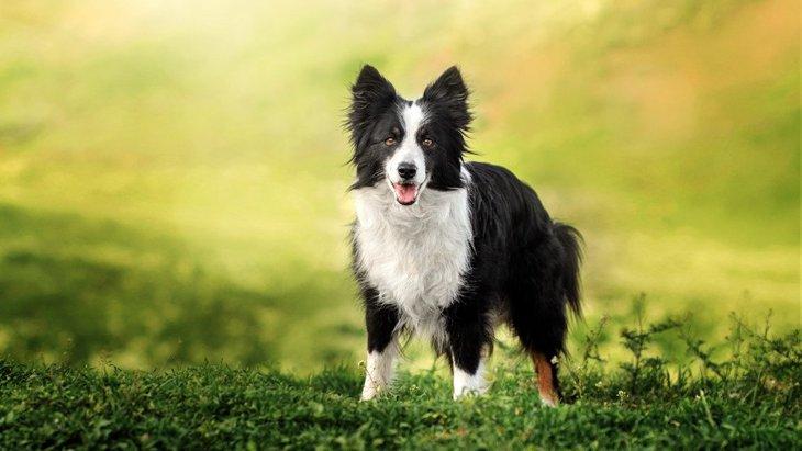 『頭が良い犬種』3選!どうすれば賢い犬に育つの?