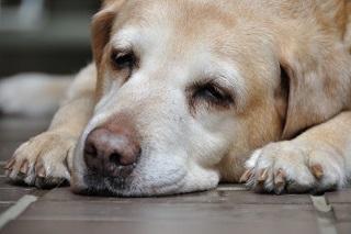 犬の肝臓がんについて ~症状や原因・治療や予防法~