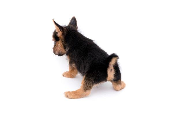 犬の膀胱癌について 症状や原因、治療と予防法