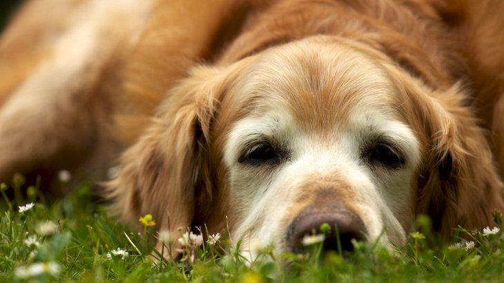 アメリカで大規模な犬のアンチエイジング研究がスタート!