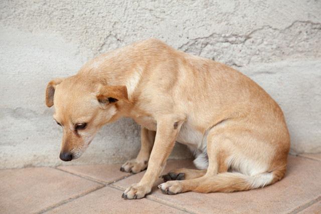 犬に起こる自己免疫性の貧血をご存知ですか?