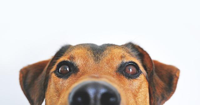 犬が失明してしまう病気を知ろう!なりやすい犬種から予防対策まで