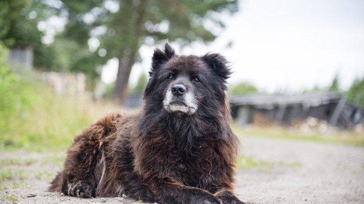 コーカシアンシェパードドッグってどんな犬?その性格や特徴などについて