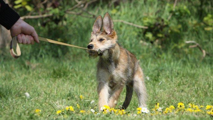 犬が散歩からの帰宅を拒否するときの5つの心理とは