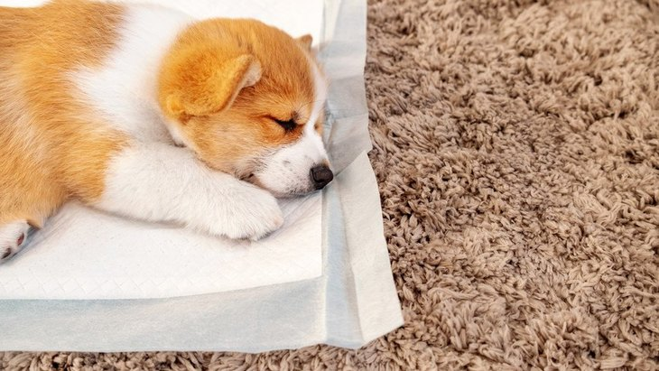 犬がトイレシートを食べてしまう!主な原因と食べさせない為の対処法