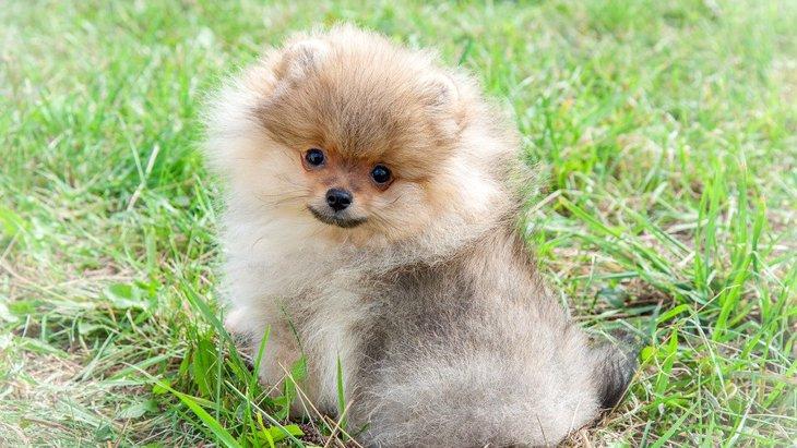 「ポメマル」はポメラニアンとマルチーズのミックス犬!その性格や特徴、飼い方やしつけについて