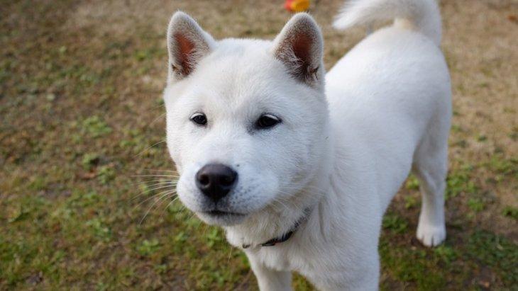 紀州犬の性格や特徴、ブリーダーから子犬の価格まで