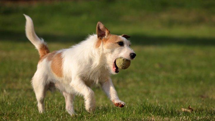 ジャックラッセルテリアのブロークンってどんな犬?性格や特徴まとめ