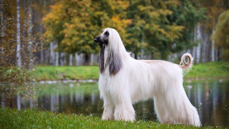 見とれちゃう…美しい被毛の犬種6選