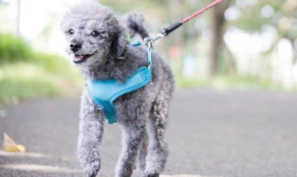 『小型犬は散歩させなくてもいい』って本当?散歩させないとどうなるの?