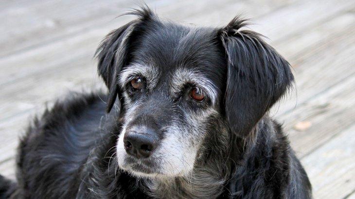 犬の白髪の原因は?生える仕組みから予防策まで