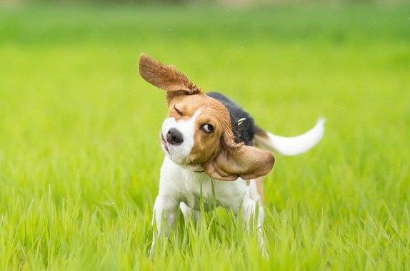 犬が触られた後に身体を震わせる心理4選!もしかして嫌がってる?撫でないほうがいいの?