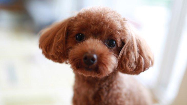 JKC犬籍登録数10年連続首位!トイプードル大ブームのきっかけは?