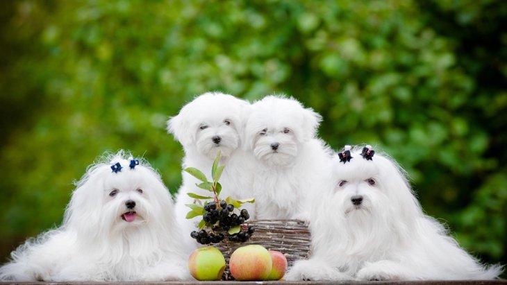 美しい被毛を持つ犬種6選!特徴や飼う時の注意点について