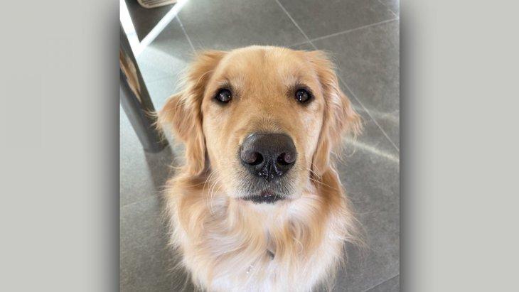 『犬は外飼い』という固定観念を180度変えさせたゴールデンさんが話題!