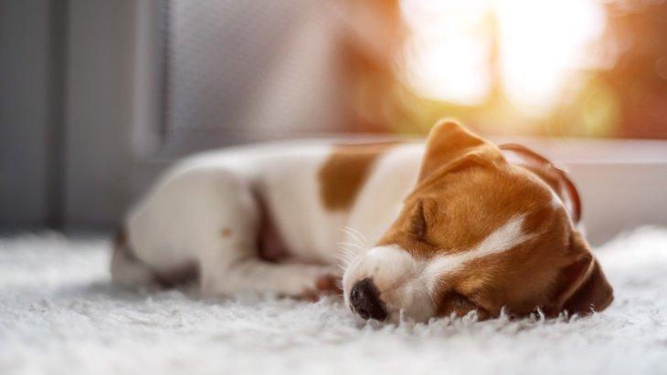愛犬にも影響が?カーペットに潜む危険と対策法