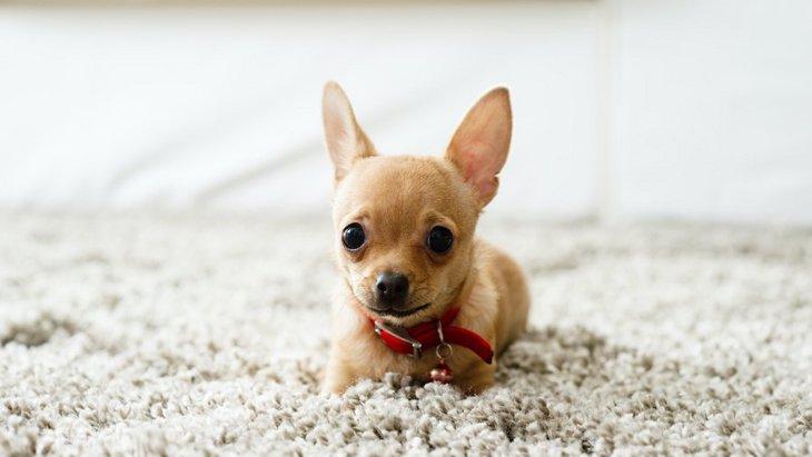 犬のお留守番時に床に置いてはいけないもの5選
