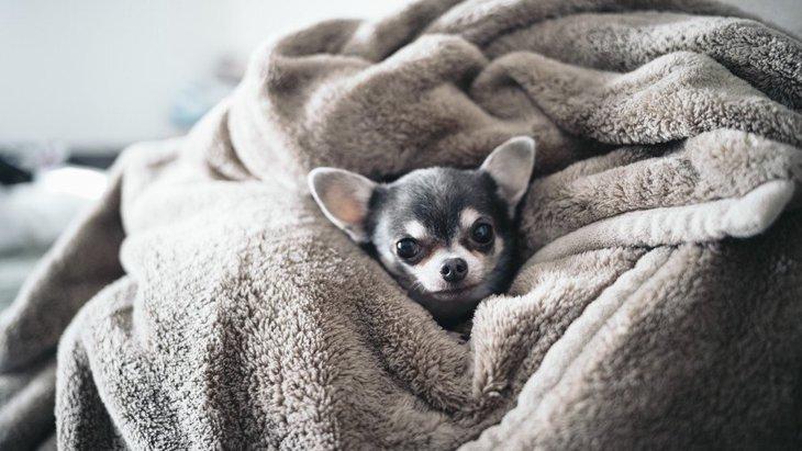 チワワは寒がり!快適に暮らせるための防寒対策やおすすめグッズをご紹介