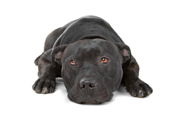 犬の鼻がはげるさまざまな皮膚病