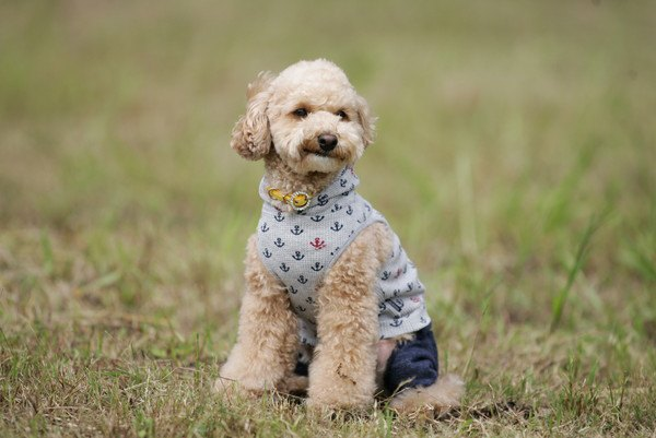 ペキプーってどんなミックス犬?性格や特徴、寿命から子犬の値段まで