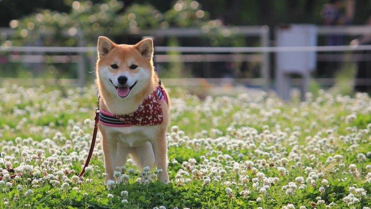 犬が秋に花粉症になる原因と対処法