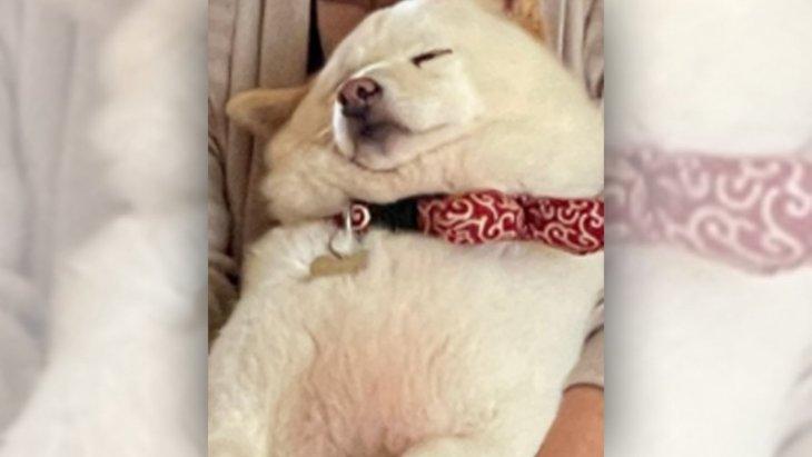【17万いいね!】抱っこで眠るむちふわの柴犬さんがSNSで話題♡