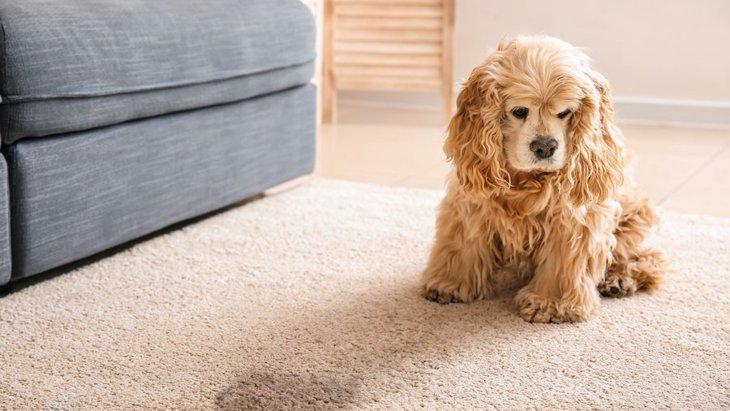 犬が『お漏らし』をしてしまう原因5選!もしかしたら病気の可能性も…?