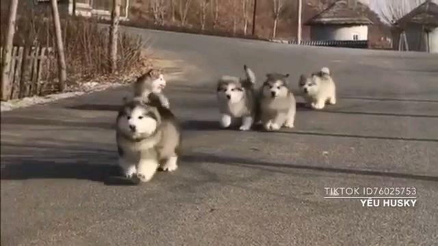 モフモフがいっぱい!アラスカンマラミュートの子犬ちゃん達の動画集