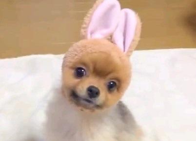 うさぎ?犬です♪可愛いポメラニアンちゃん達によるオヤツタイム
