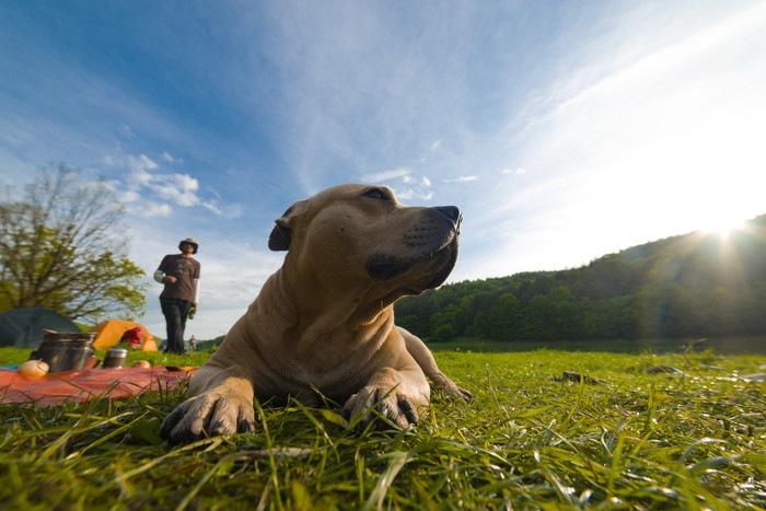ピットブル犬(アメリカンピットブルテリア)の特徴と性格、値段や飼い方まで