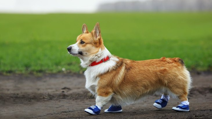 犬に靴を履かせるべきタイミング3選!嫌がっても慣れさせておく必要はある?