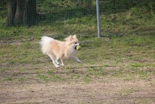 犬の股関節脱臼について 症状と原因から治療や予防法まで