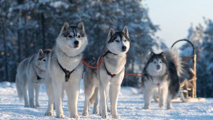 永久凍土から発見された1万8千年前の子犬は犬か?オオカミか?