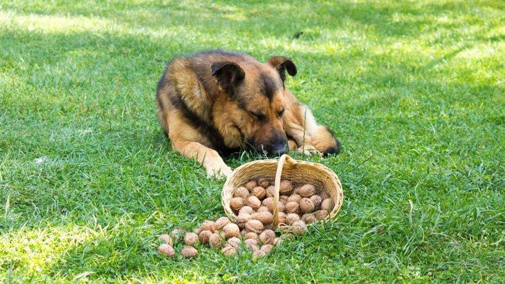 犬にくるみを食べさせても大丈夫?栄養素と効果、量の目安や中毒について