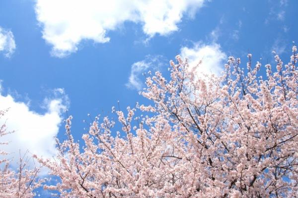 愛犬とお花見!ゆっくりできる花見スポット「宿河原の二ヶ領用水」