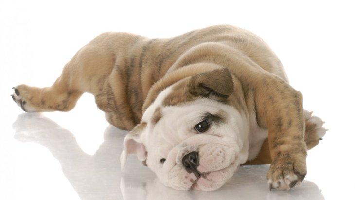 犬はなぜ床や地面に体をすりすりするの?部位別でわかる5つの理由