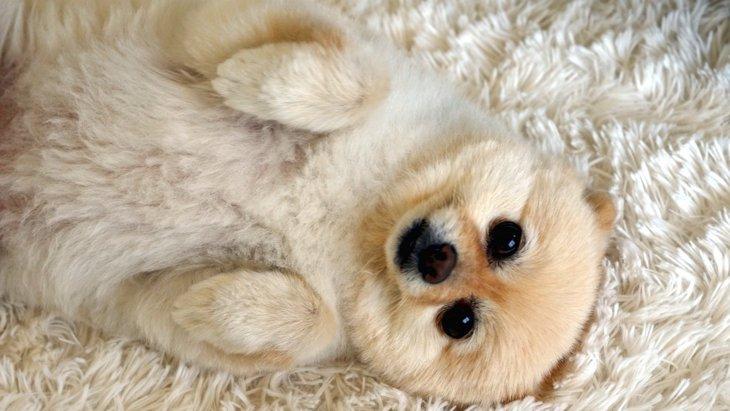犬が仰向けで前足を曲げている時の心理4選!降参しているの?それともリラックス?