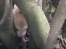 ぬ、抜けない!木の根のすき間に頭を突っ込んだ犬の救助