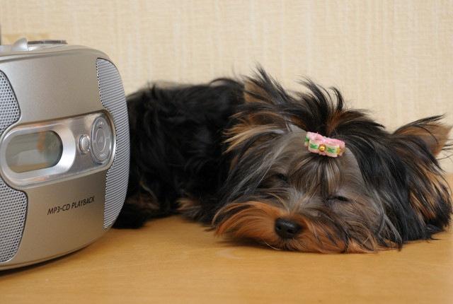 犬の留守番の友に、オーディオブックはいかが?