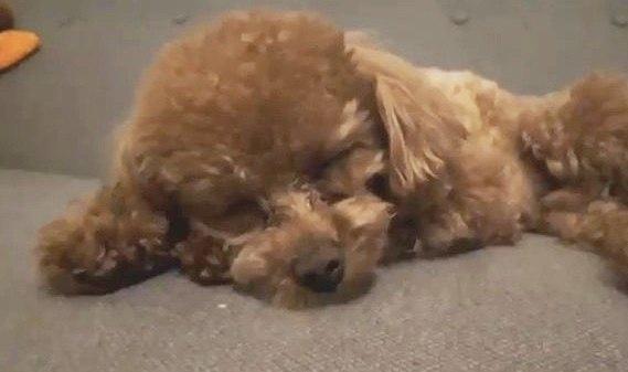 【爆睡!】疲れすぎて全く起きなくなったトイプードル