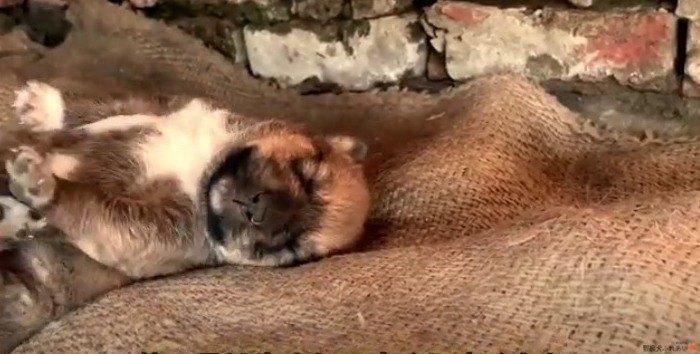唯一生き残った子犬のために…野犬良ママに栄養を!