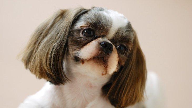 犬の眼球が飛び出してしまう原因となりやすい犬種