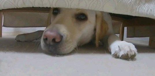 暑い季節はここに限る!ソファーに潜るラブラドールレトリバーちゃん