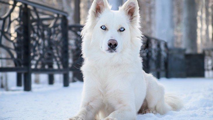 超古代犬種「ヤクーチアンライカ」 原産国から主な特徴まで