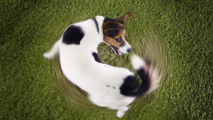 犬がグルグルまわるのをやめない理由とは?