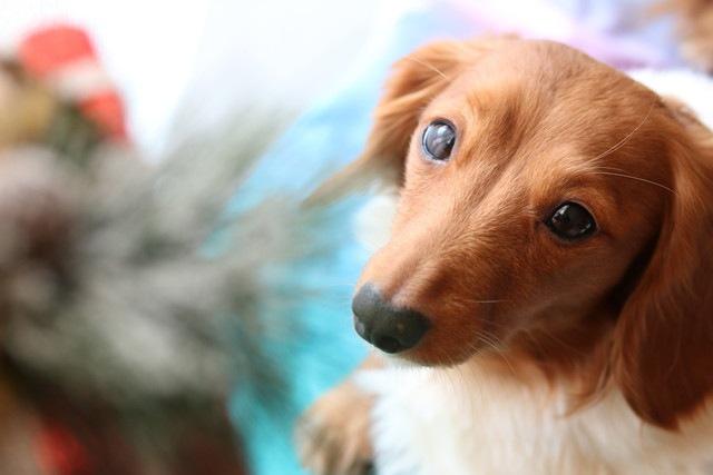 犬が急に粗相をするようになる原因と対処法、病気について