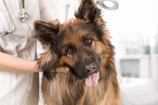 犬の避妊手術の流れと準備しておくもの