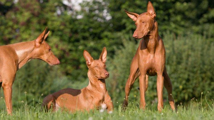 知っていたら犬博士?!とても珍しい犬種9選
